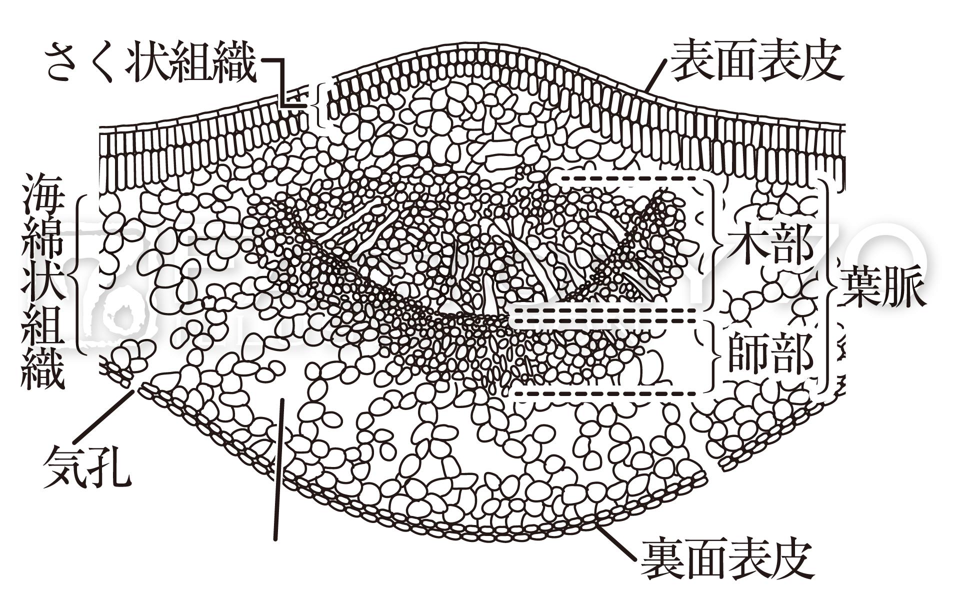 高校教科書(生物)挿絵/イラスト 制作例 葉の構造に関するイラスト